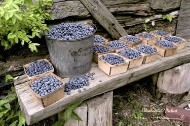 Blueberries Picked