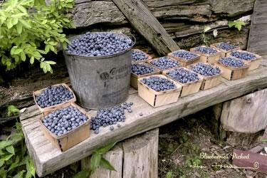 Blueberries Picked