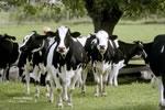 Curious Holsteins